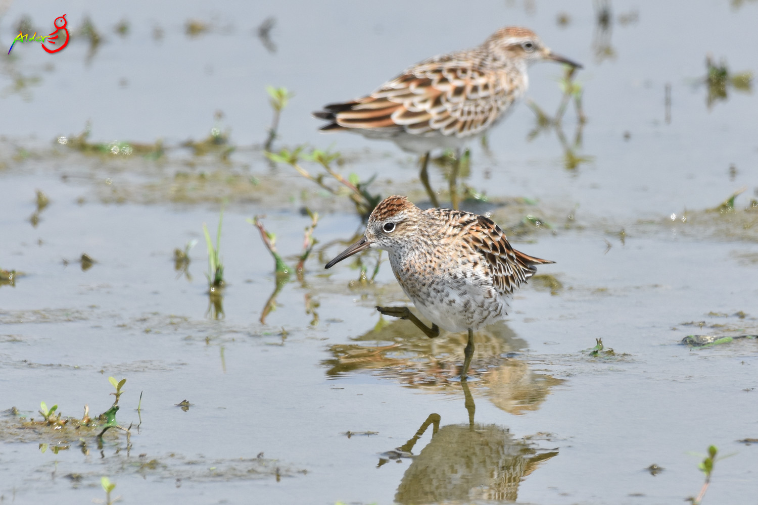Sharp-tailed_Sandpiper_5577