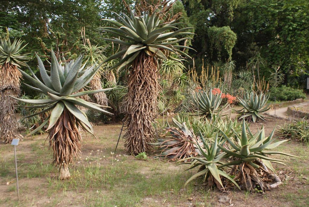 Les cactées et succulentes du jardin botanique de Palerme en Sicile.