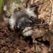 ashy mining bee, Andrena cineraria, male