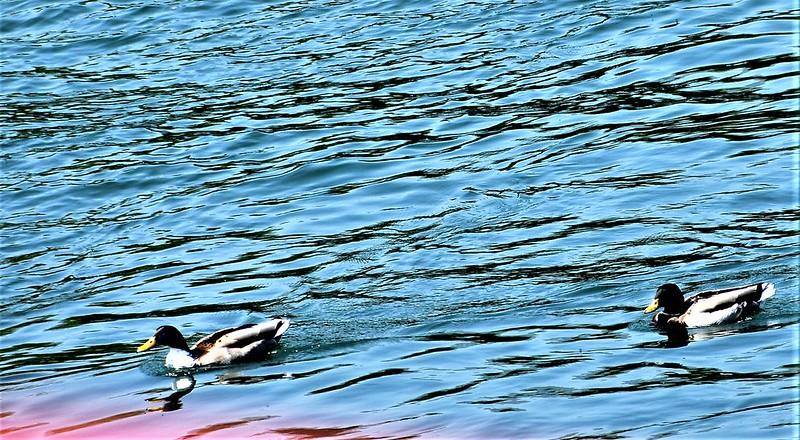 Ducks 06.05 (5)