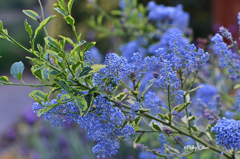 ceonothus-black-diamond