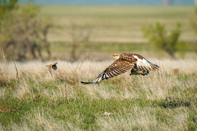 Ferruginous Hawk - Horned Lark