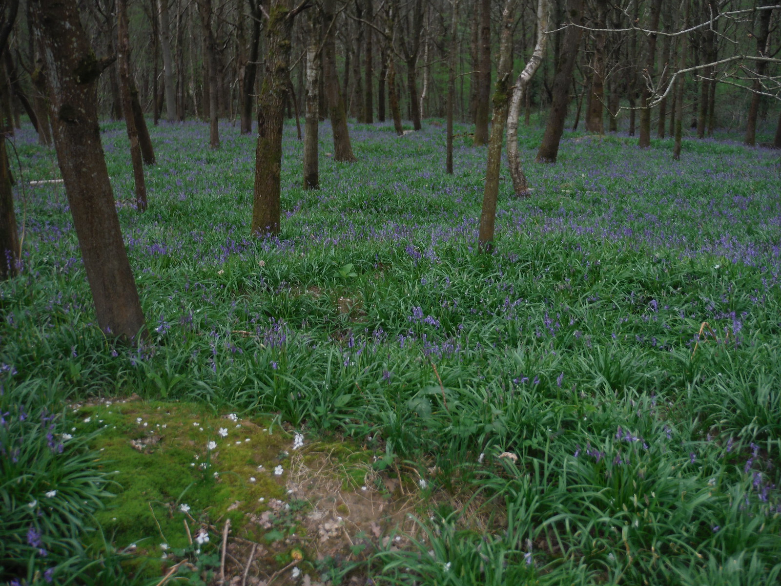 Bluebells in Close Copse SWC Walk 48 Haslemere to Midhurst (via Lurgashall or Lickfold)