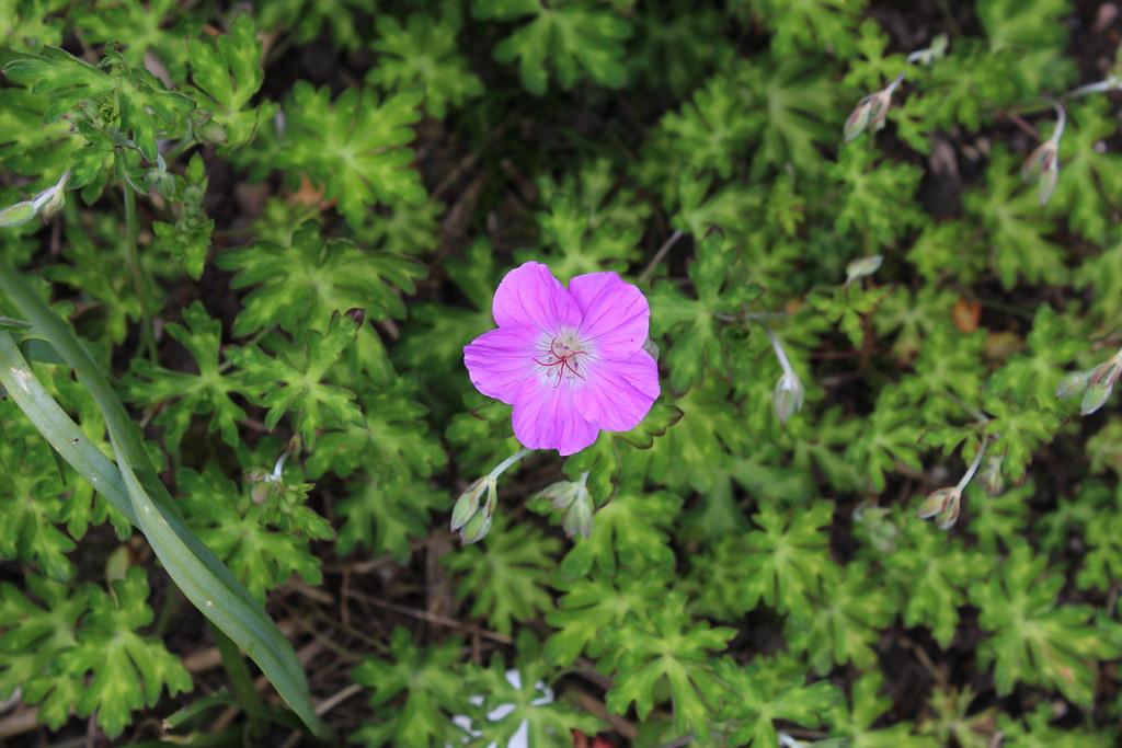 Geranium orientalitibeticum