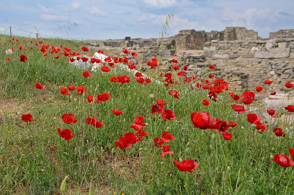 Poppies 04
