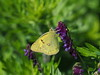 Photo:Eastern pale clouded yellow butterfly (Colias erate poliographys,モンキチョウ) By Greg Peterson in Japan