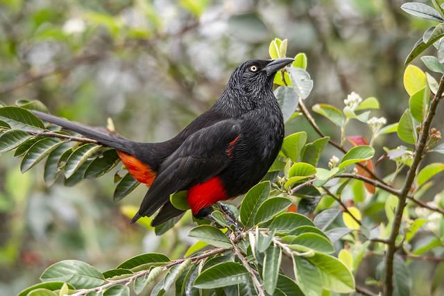 Hypopyrrhus pyrohypogaster (Red-bellied Grackle / Cacique candela)