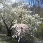 Cherry Blossoms, Branch Brook Park, 2018 - 2