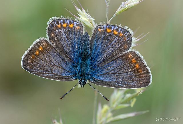 Mi, 2018-05-09 15:36 - Bläulinge zählen mit zu meinen Lieblingsmotiven. Diese Blautöne sind einfach wunderschön. Hier seht ihr einen Esparsetten-Bläuling (Polyommatus thersites) und zwar ein Weibchen.