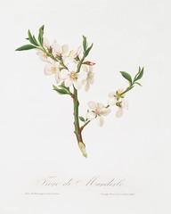 Almond tree flower (Prunus dulcis) from Pomona Italiana (1817 - 1839) by Giorgio Gallesio (1772-1839).
