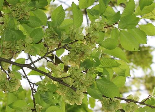 Ulmus minor (= Ulmus campestris) - orme champêtre et hybrides x hollandica  28252016018_9d3811207b
