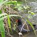 Moorhen in Weald Country Park