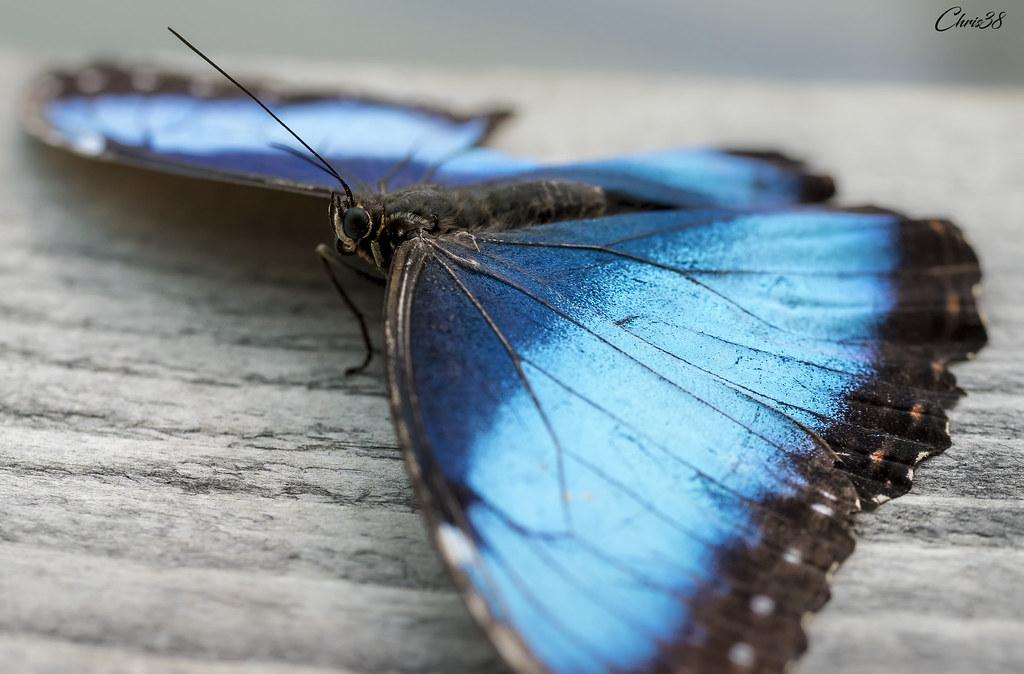 Bat Butterfly