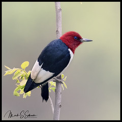 Red-headed Woodpecker at B. K. Leach Memorial Conservation Area