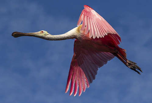 alligatorfarm florida staugustine babies birds chicks flying nesting rookery wadingbirds spoonbill roseatespoonbill