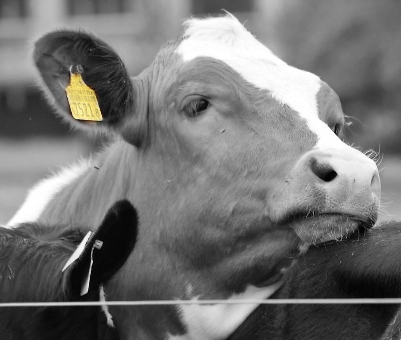 Cows 02.05 (8)