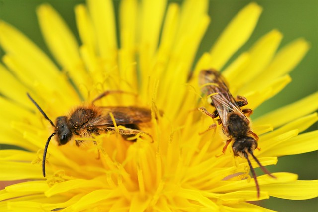 Andrena haemorrhoa & Nomada