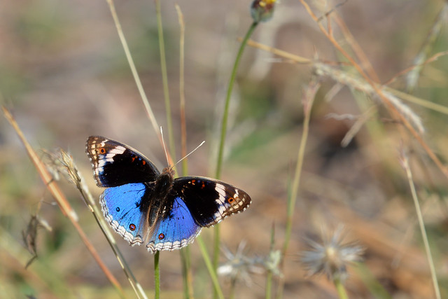 Blue Argus Butterfly M