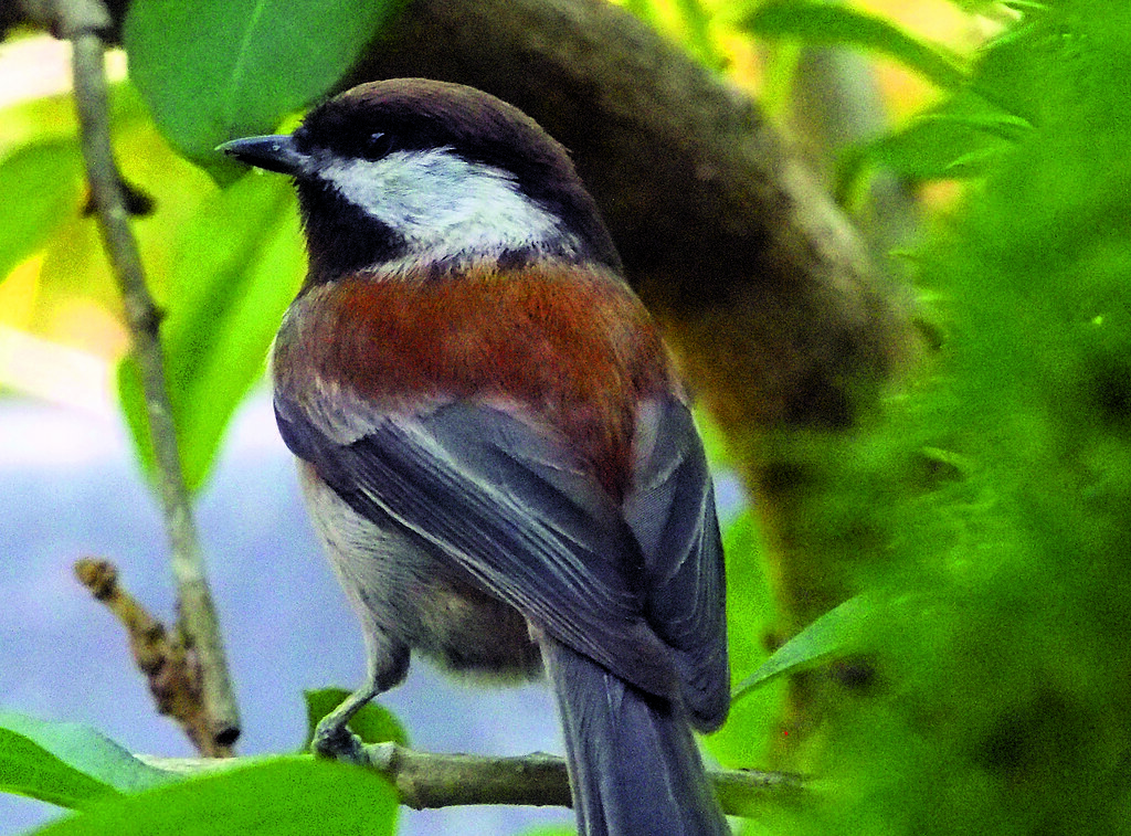 Chestnut-backed chickadee (P3301477)
