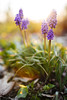 Grape Hyacinth [04.27.18] by Andrew H Wagner | AHWagner Photo