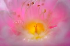 粉红色的记忆