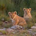Lion Cubs by Hector16