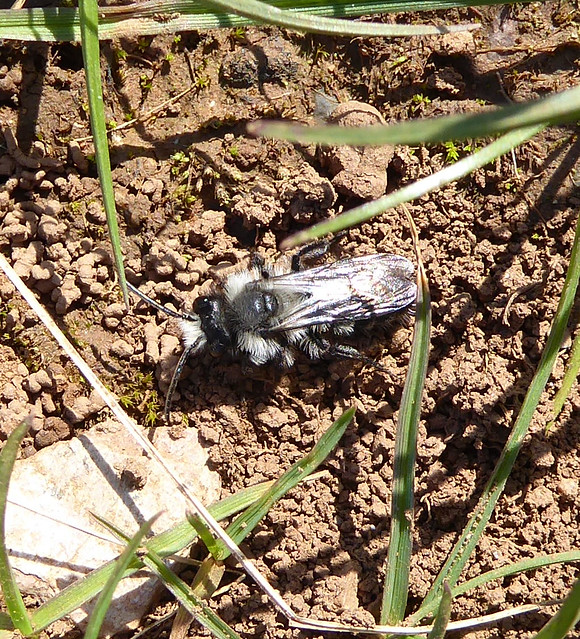 Male Ashy Mining Bee
