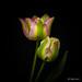 Tulips hanging by Magda Banach