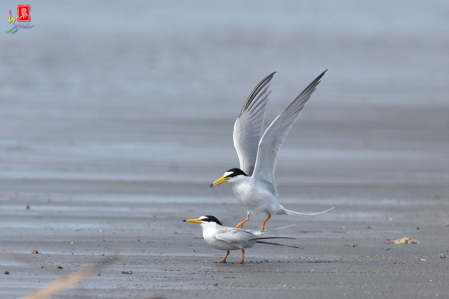Little_Tern_4417