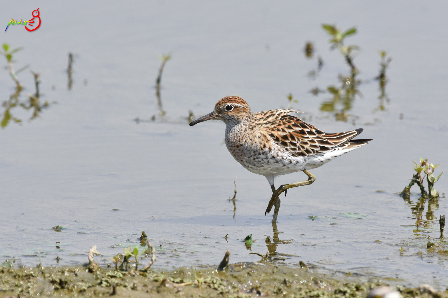 Sharp-tailed_Sandpiper_5527