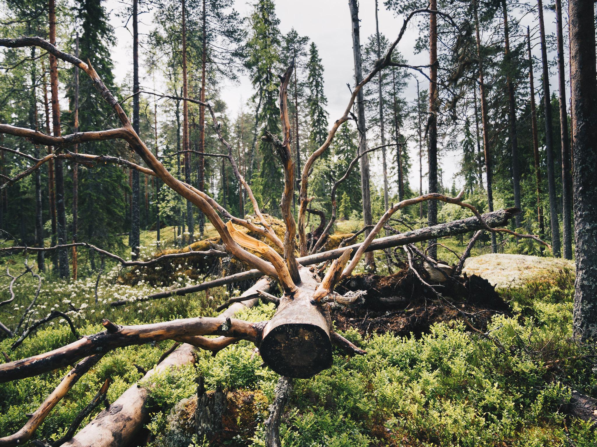 Kaatunut puu – kuin taideteos