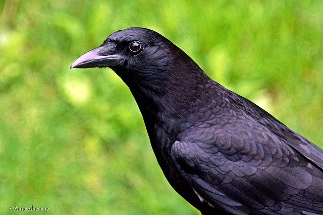 Portrait of an American Crow