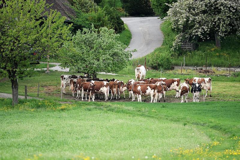 Cows 26.04 (7)