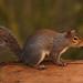 6 Squirrel