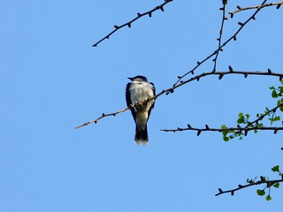 Eastern kingbird in ginkgo tree