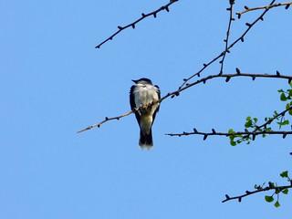 Eastern kingbird in ginkgo tree