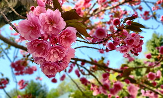 Cherry Blossom | by SurFeRGiRL30