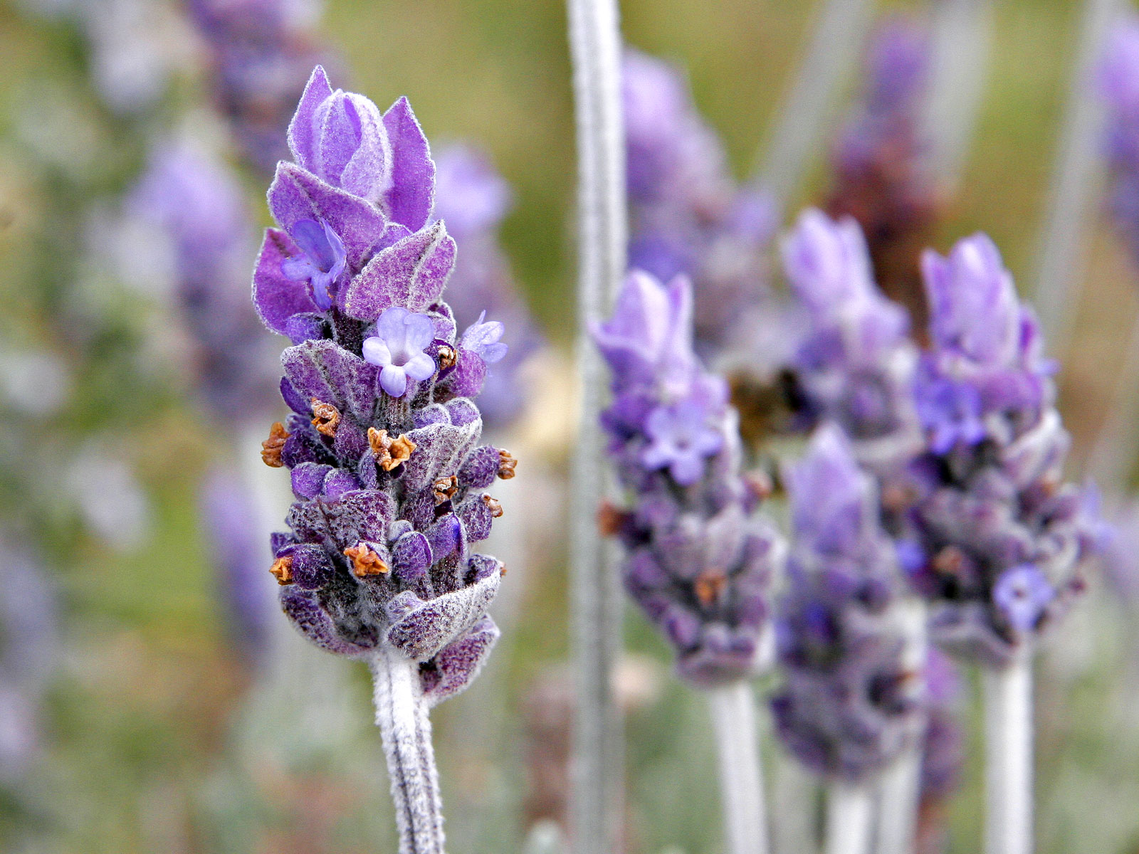 Lavender Edible Flowers to Flavour your Food & Improve your Health (gardeningflavours.com)