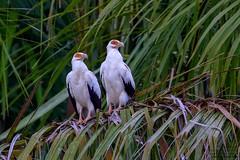 Palm-nut Vulture (Gypohierax angolensis) Kwanza River, Angola 2018