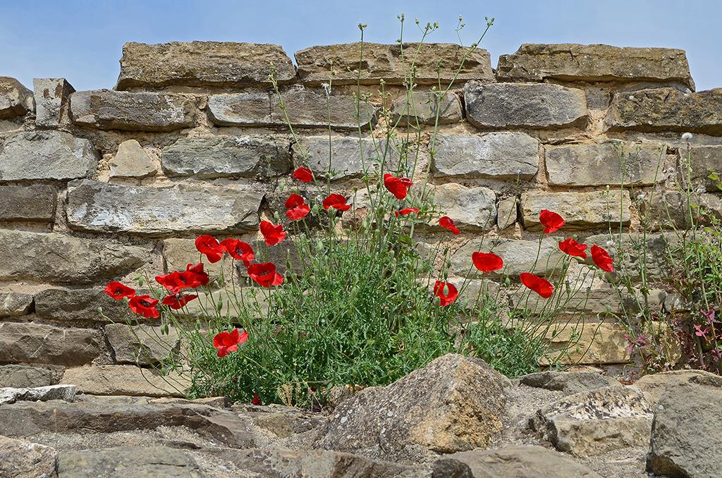 Poppies 07