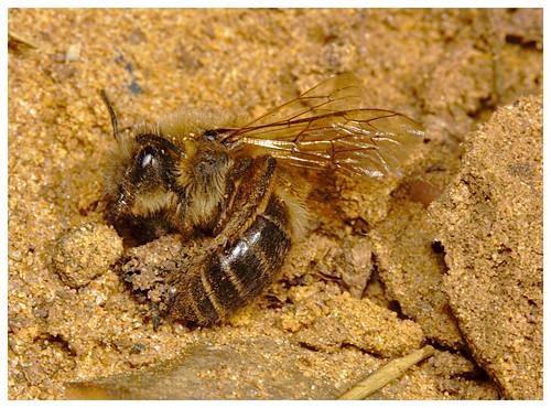 Bee IMG_0813