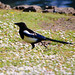 Magpie, among daisies
