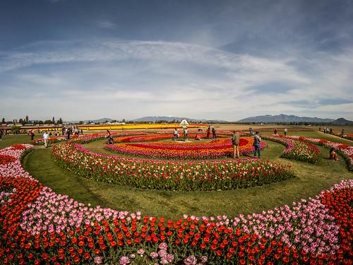 Skagit Valley Tulips-194