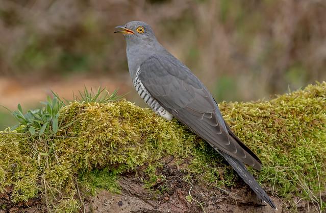 DSC8475 Cuckoo....