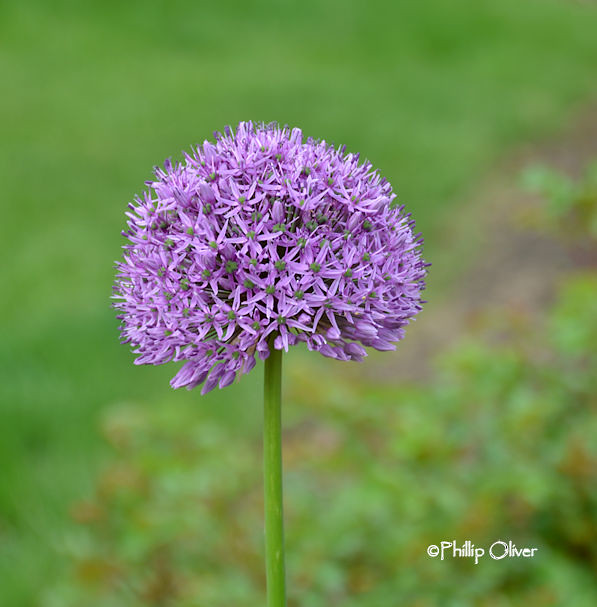allium-gladiator