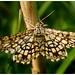Latticed Heath Moth.