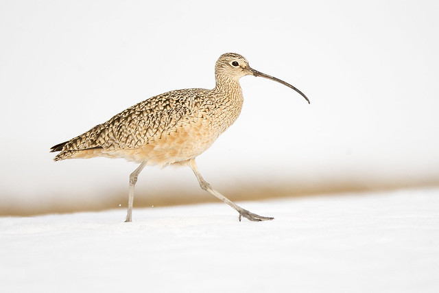 Snowbound Curlew, Canon EOS-1D X, Canon EF 800mm f/5.6L IS