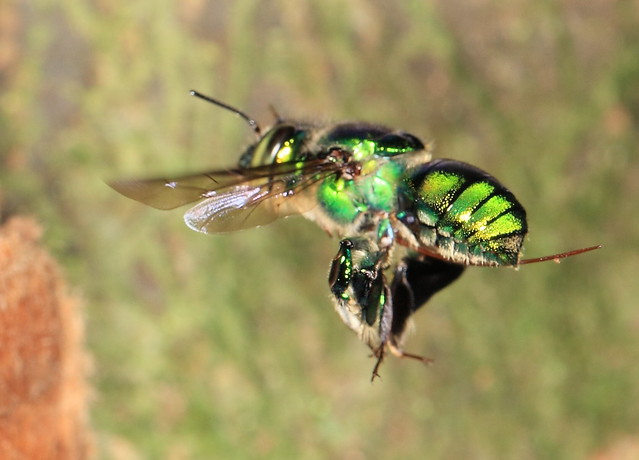 Costa Rican orchid bees