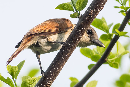 Rose-throated Becard    female