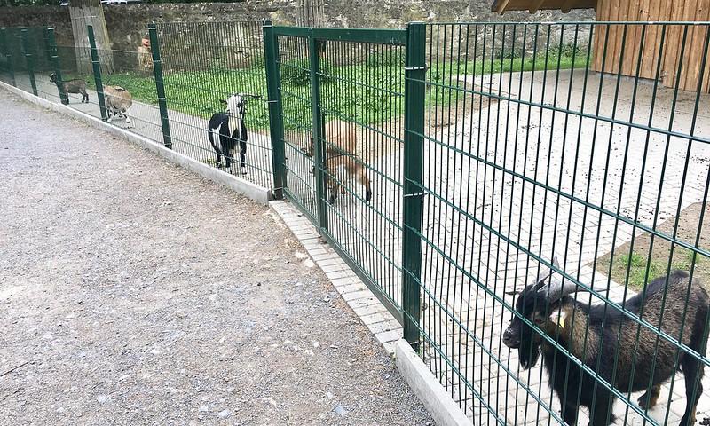 eläinpuisto_vuohet